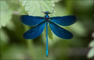 Beautiful Demoiselle by Janne Heimonen